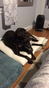 A black lab sits on her dog bed.