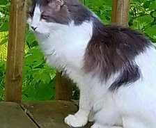 A grey and white cat sits on a deck outside.