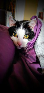A black and white cat's face appears out of purple blankets.