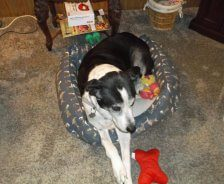 A black and white dog sits in his dog bed at home.