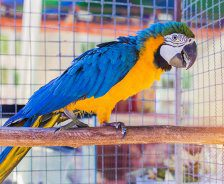 A blue and yellow macaw stands on a perch in a cage.