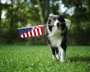 A black and white dog holds an American flag in its mouth and runs through green grass.