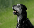 A black dog with white facial hair against a green background.