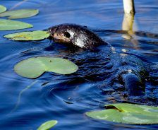 An otter swims in blue water with green lily pads.