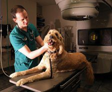 A male vet examines a large golden doodle on the table of a LINAC.