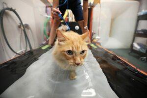 An orange cat walks in a treadmill with water in it.