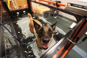 A Belgian Malinois looks up as he walks on a hydro-treadmill.