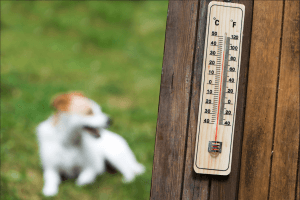 Close up of a thermometer hanging on a fence with a panting dog in the background.