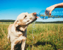 A Labrador retriever drinks water from a plastic bottle someone is holding out.