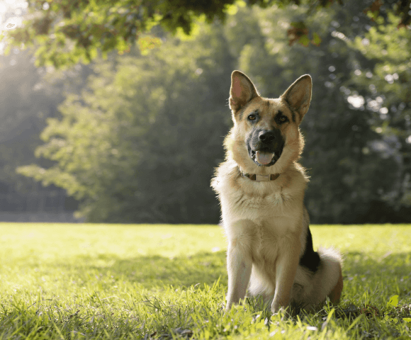 A German Shepard sits in grass with the sun lighting up trees behind him.
