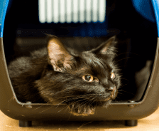 A black cat looks outside of its carrying case.