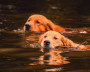Two golden retrievers swim together.
