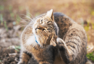 A brown tabby scratches its ear with its hind leg outside.