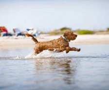 A Golden Doodle runs through the water.