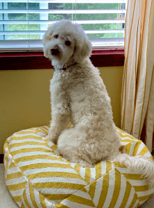 A golden doodle dog sits by a window, looking back over his shoulder to the camera.