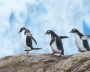 Three young penguins walk in a line on a rock against blue cloudy sky.