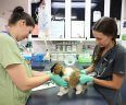 Two female veterinarians examine a small cute fuzzy puppy.