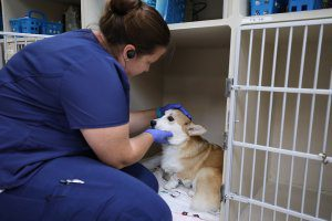 Vet tech bends down to pet a corgi in his kennel.