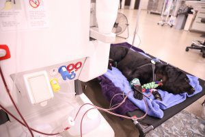 A black lab lays on a cot while receiving a blood transfusion.