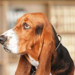 A basset hound looks to the side.