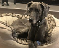 A regal looking gray Weimaramer lays in her dog bed.