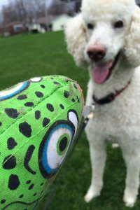A large white poodle stares at a green stuffed trout toy with anticipation.