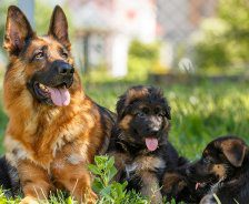 A German Shepherd sits in the grass with her puppies.