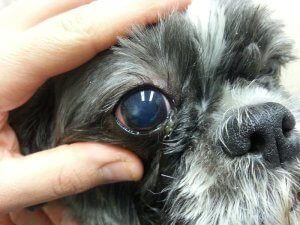 Corneal Ulcers In Dogs