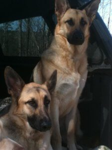 Two German Shepherds sit next to each other.