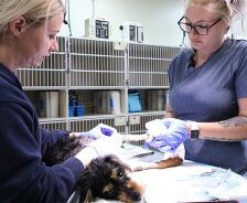Two technicians change a dog's leg bandage.