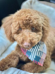 A miniature poodle has a plaid bandana on.
