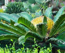 A sago palm has green fronds extending outward with a yellow flower in the middle.