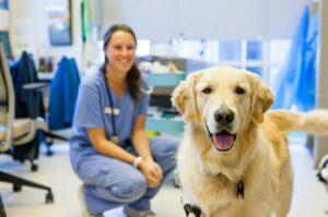 A veterinarian in blue scrubs kneels behind a golden retriever.