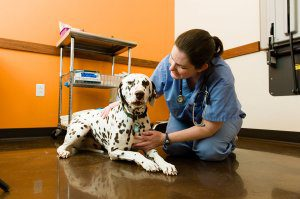 A veterinarian kneels next to a Dalmatian on the floor.