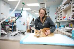 A female veterinary technician holds an orange cat on a hospital table.