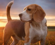 A beagle stands in a grassy field with the sun setting behind him.