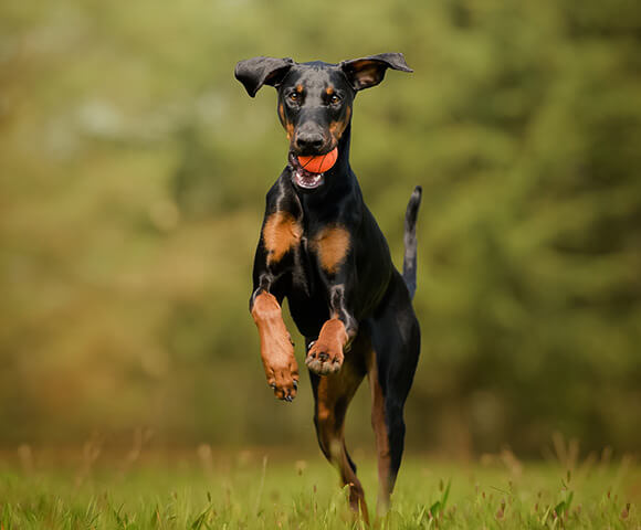 A doberman jumps in the air with a ball in its mouth.
