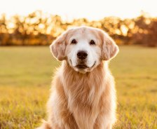 A golden retriever sits in a grassy field as the sun sets.