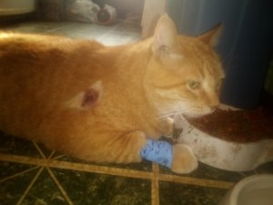 An orange cat lays next to his food dish with a bandage around his leg.