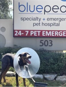 A doberman stands outside a BluePearl Pet Hospital with a cone on after surgery.