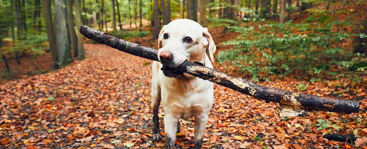 A Labrador with muddy feet carries a stick in its mouth.