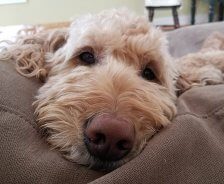 A golden doodle lays on a plush, tan bed.