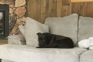 A black pit bull-boxer mix sits on a white couch.