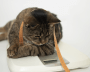 Overweight cat stares at scale with measure tape draped around neck.