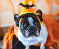 Pug dog wearing orange Halloween hat.