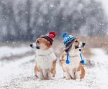 Two corgi's outside in snow with matching winter hats on.