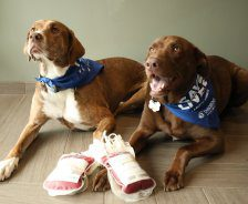 Two dogs with blue bandanas lay on floor next to donation blood bags.