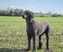 A grey standard poodle stands in a grassy field.