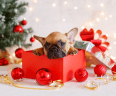 Small puppy in red gift box by Christmas tree.