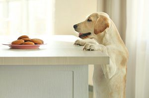 A young Labrador stands up and looks at a plate of cookies.